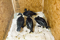 Oiled birds, Kalamazoo [Photo by U.S.Fish and Wildife Service Midwest|Flickr]