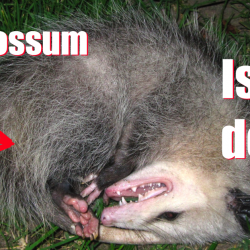 Episode 50 – A Dead Possum Named Trumpcare with special guests Michael S. Linden & Charles Gaba