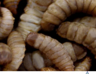 Oh, look. More maggots found in prisons with privatized, for-profit food service vendor