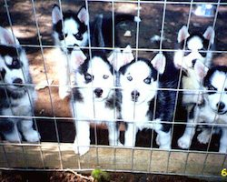 New Michigan Republican legislation will make the problem of cruel puppy mills WORSE